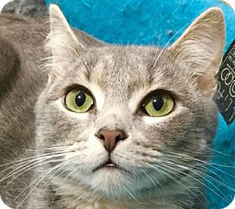 Domestic Shorthair Cat for adoption in Burlington, North Carolina - CHAZ
