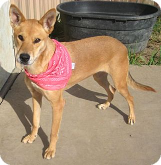 Carolina Dog/Shepherd (Unknown Type) Mix Dog for adoption in Pilot Point, Texas - LADY