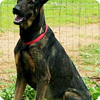 Adopt A Pet :: Cody the German Shepherd - Scottsdale, AZ