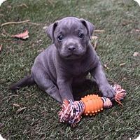 Adopt A Pet :: Darla - Dana Point, CA