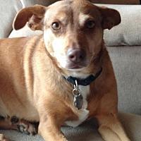 Adopt A Pet :: Amber - Brunswick, ME