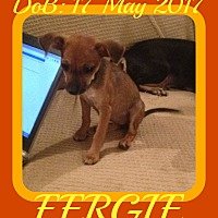 Adopt A Pet :: FERGIE - Middletown, CT