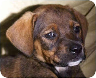 Hound (Unknown Type)/Labrador Retriever Mix Puppy for adoption in Spring Valley, New York - Gia