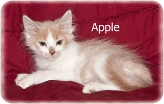 Domestic Longhair Kitten for adoption in Brighton, Michigan - Apple