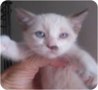 Ragdoll Kitten for adoption in Dallas, Texas - Sasha