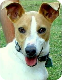 """Basenji/Fox Terrier (Smooth) Mix Dog for adoption in Memphis, Tennessee - """"CF"""""""