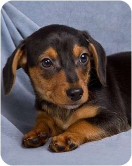 Chihuahua/Dachshund Mix Puppy for adoption in Anna, Illinois - BOOMERANG