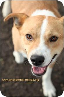 Terrier (Unknown Type, Medium) Mix Dog for adoption in Garland, Texas - Daddy Jack