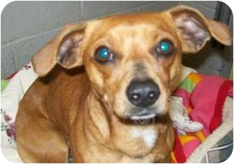 Dachshund/Chihuahua Mix Dog for adoption in Grants Pass, Oregon - Diego