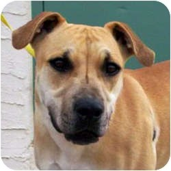 Black Mouth Cur Mix Dog for adoption in Chino Valley, Arizona - Star