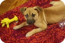 Labrador Retriever/Boxer Mix Puppy for adoption in Marietta, Georgia - Spryte