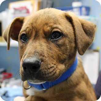 Terrier (Unknown Type, Medium) Mix Puppy for adoption in Columbia, Illinois - Fabio