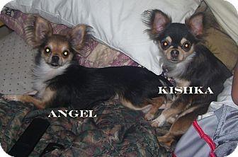Chihuahua Dog for adoption in Shoreline, Washington - Angel ~ The Teacup