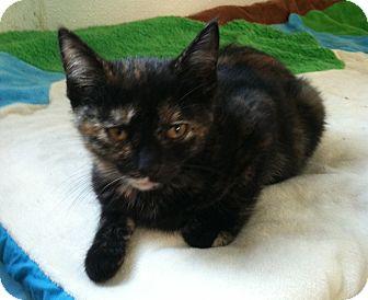 Domestic Shorthair Kitten for adoption in Greensburg, Pennsylvania - Palmolive
