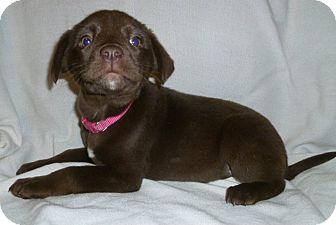 Labrador Retriever Mix Puppy for adoption in New Oxford, Pennsylvania - Jaylo
