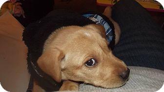 Labrador Retriever/Husky Mix Puppy for adoption in Fort Riley, Kansas - Skye