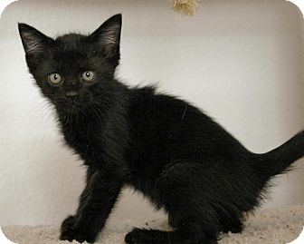Domestic Shorthair Kitten for adoption in Sacramento, California - Cinder