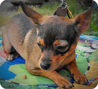 Chihuahua Mix Dog for adoption in Santa Ana, California - Pinky (JR)