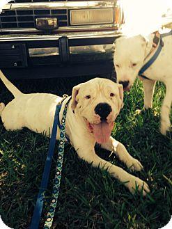 Bullmastiff/Dalmatian Mix Puppy for adoption in Homestead, Florida - Wrangler