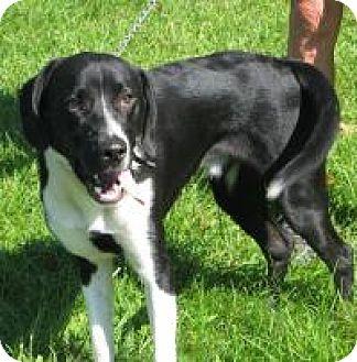 Labrador Retriever/Pointer Mix Dog for adoption in Mineral, Virginia - BuddyToo