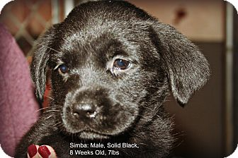 Labrador Retriever Mix Puppy for adoption in Poughkeepsie, New York - Simba
