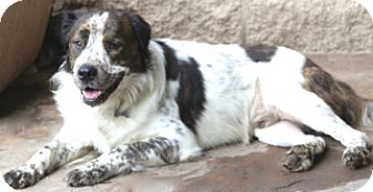 English Setter/Labrador Retriever Mix Dog for adoption in Allentown, Pennsylvania - Gage