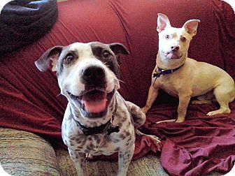 Pointer Mix Dog for adoption in Lincoln, California - Faith