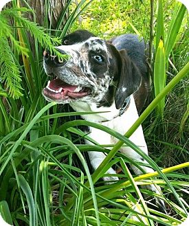 Catahoula Leopard Dog Dog for adoption in Ocala, Florida - Jolie- DEAF