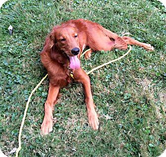 Irish Setter/Golden Retriever Mix Dog for adoption in Media, Pennsylvania - AUTUMN