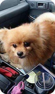Pomeranian Mix Dog for adoption in Brooksville, Florida - Teddy