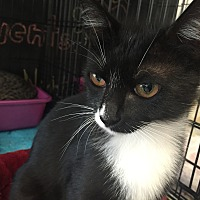 American Shorthair Kitten for adoption in Cerritos, California - Ace