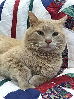 Domestic Shorthair Cat for adoption in Maryville, Missouri - Garfield