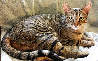 Domestic Shorthair Cat for adoption in Greensboro, North Carolina - Matt