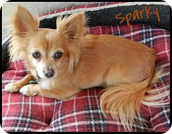 Chihuahua Dog for adoption in Orange, California - Sparky