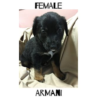 Basset Hound/Pomeranian Mix Puppy for adoption in Macon, Georgia - Armani