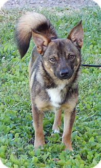 Shiba Inu/Shepherd (Unknown Type) Mix Puppy for adoption in West Sand Lake, New York - Ziggy(10 lb) GREAT Family Pet!