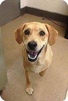 Beagle/Labrador Retriever Mix Dog for adoption in Las Vegas, Nevada - Rocky