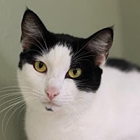 Domestic Shorthair/Domestic Shorthair Mix Cat for adoption in Kyle, Texas - VERONA