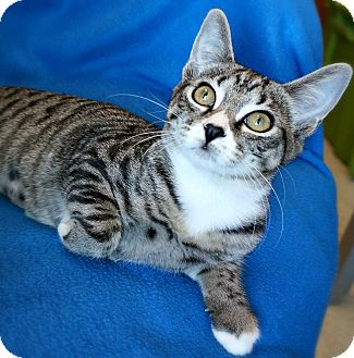 Domestic Shorthair Kitten for adoption in Greensboro, North Carolina - Thistle