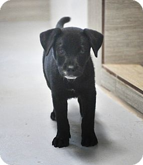 Labrador Retriever Mix Puppy for adoption in Westerly, Rhode Island - Lilly