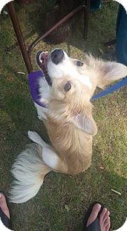 Sheltie, Shetland Sheepdog/Chihuahua Mix Dog for adoption in West Warwick, Rhode Island - Colin Collie