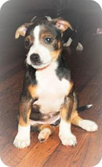 American Staffordshire Terrier Puppy for adoption in Marlton, New Jersey - Sara