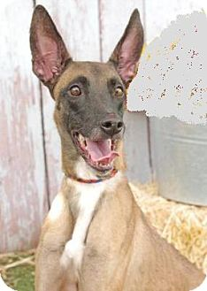 Belgian Malinois Dog for adoption in Inverness, Florida - Meeko