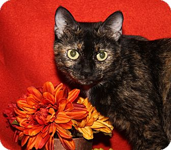 Domestic Shorthair Cat for adoption in Marietta, Ohio - Sylvia (Spayed)