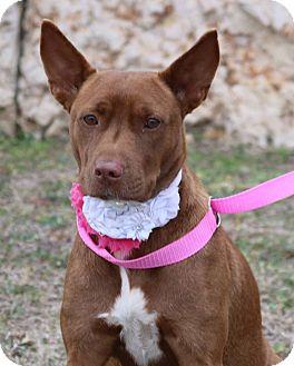 Australian Kelpie Mix Dog for adoption in Pluckemin, New Jersey - Dutchess