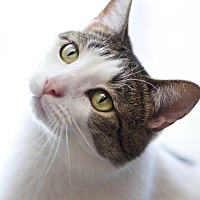 Domestic Shorthair Cat for adoption in LaGrange, Kentucky - Jerzey