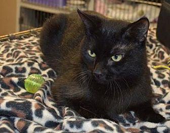 Domestic Shorthair/Domestic Shorthair Mix Cat for adoption in Ashtabula, Ohio - Rich
