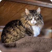 Domestic Longhair Cat for adoption in Unionville, Pennsylvania - Anastasia