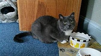 Domestic Shorthair Cat for adoption in Queenstown, Maryland - Scone
