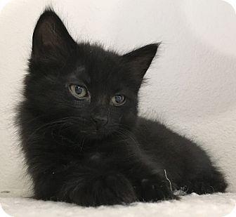 Domestic Mediumhair Kitten for adoption in Meridian, Idaho - Moonstone